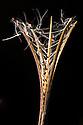 Rosebay Willowherb seeds {Epilobium angustifolium} Strumpshaw Fen, Norfolk, UK. September.