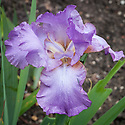 Iris 'Amethyst Flame', late May.