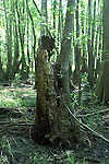 A young tree has sprouted from the root of an old stump.  The tree is growing while the stump is rotting.