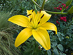 Connecticut Yankee Lily, Lilium hybrid