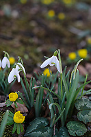 Eranthis (winter aconite) and Galanthus Nivalis on the drive