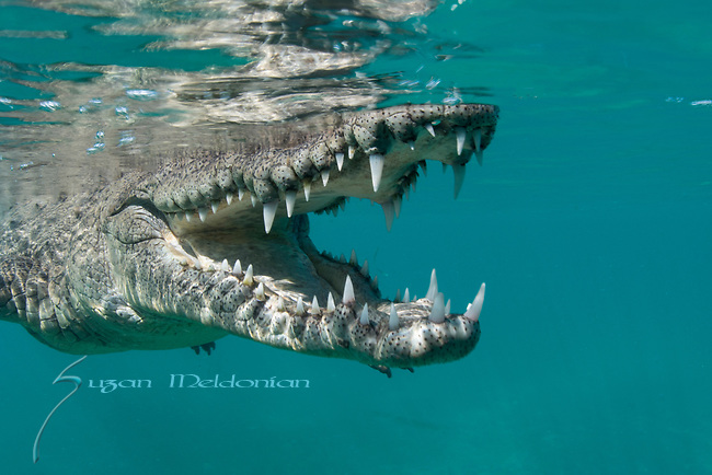 American Crocodile at the surface, mouth open, jaws of death,Crocodylus acutus, Reptile