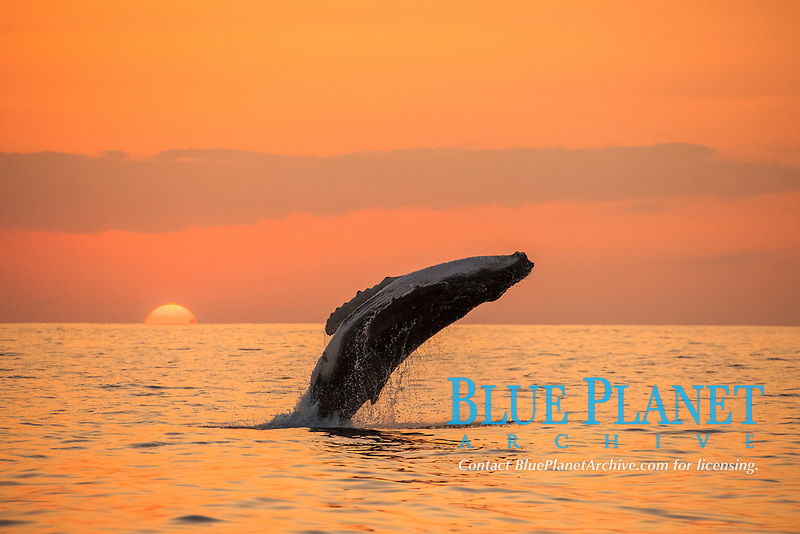humpback whale, Megaptera novaeangliae, breaching at sunset, Chichi-jima, Bonin Islands, Ogasawara Islands, Natural World Heritage Site,  Tokyo, Japan, Pacific Ocean