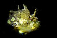Sargassum Frogfish (Histrio histrio) in the Lembeh Strait