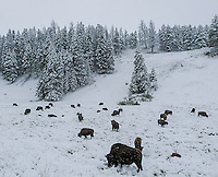Buffalo in the snow in Yellowstone National Park