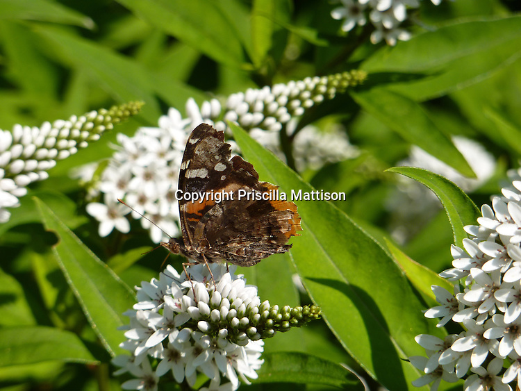 A Red Admiral butterfly on a butterfly bush