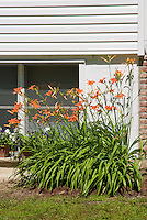 Hemerocallis fulva orange daylilies as foundation plant in flower next to house, lawn grass, container pots of petunias