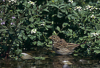 Corn Bunting, Miliaria calandra, adult bathing, Scrivia River, Italy, May 1997