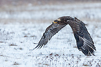 Steppes eagle