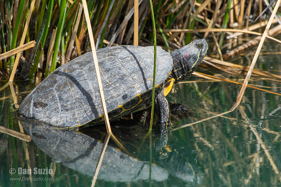 Red-eared Slider, Trachemys scripta elegans, basks on a floating branch in the Riparian Preserve at Water Ranch, Gilbert, Arizona