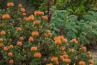 Leucospermum cordifolium orange flowering Australian Nodding Pincushion shrub in UC Santa Cruz Arboretum and Botanic Garden with Melianthus major - Honey Bush