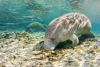 Florida Manatee (Trichechus manatus latirostris). Manatees seek the warm waters of the Three Sisters Springs to escape the cold winter temperatures. Crystal River, Florida.