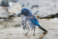 Western Scrub-Jay,  Aphelocoma californica, adult bathing in spring fed pond, Uvalde County, Hill Country, Texas, USA, April 2006
