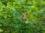 Cedar waxwing feeding in a Juneberry bush.