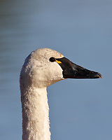 The tundra swan is smaller than the otherwise very similar trumpeter swan. Aside from size the tundra swan differs from the trumpeter in shape of bill interface with head and usually a yellow mark on the bill in frony of the eye as shown here.