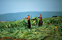 Two adult women harvest tobacco, placing the broad leaves on a pole with a pointed end. Amish women. Lancaster Pennsylvania United States Fields.