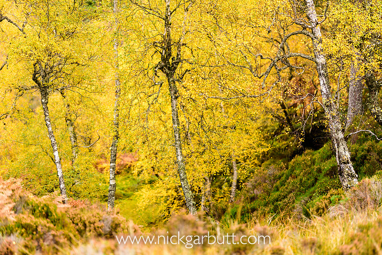 Downy Birch (Betula pubescens) changing to autumn colours. Caledonian pine forest, Glen Strathfarrar, Scottish Highlands. Scotland. October.