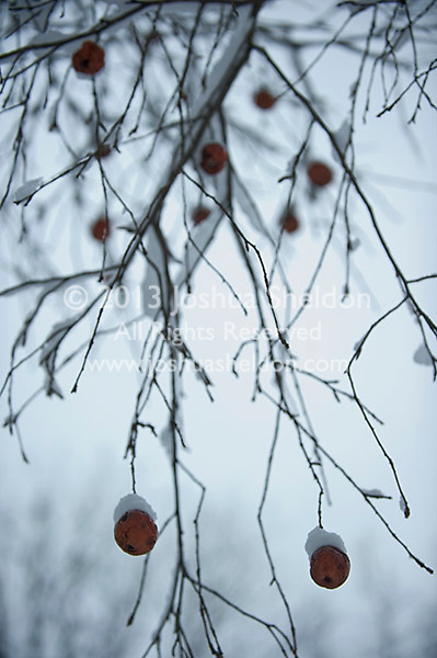 Snow on tree branches and apples