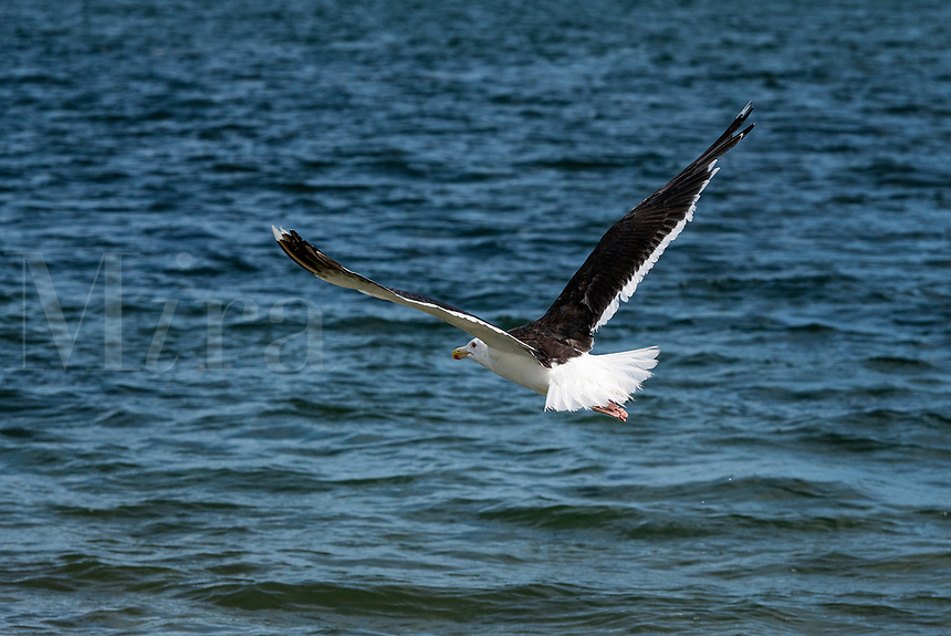 Seagull flying above ocean water in search of food, Cape Cod, Massachusetts, USA.