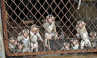 Baby Long Tailed Macaque monkeys at the Conghua Yueyuan Laboratory Animal Breeding Center, Guangdong Province, China. The center breeds monkeys mostly for export to the US and Europe where pharmaceutical and cosmetic companies use them vivisection...SINOPIX PHOTO