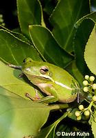 1218-1015  American Green Treefrog Sitting in Bush, Hyla cinerea  © David Kuhn/Dwight Kuhn Photography