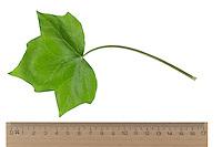 Efeu, Hedera helix, Common Ivy, English Ivy, Lierre grimpant. Blatt, Blätter, leaf, leaves