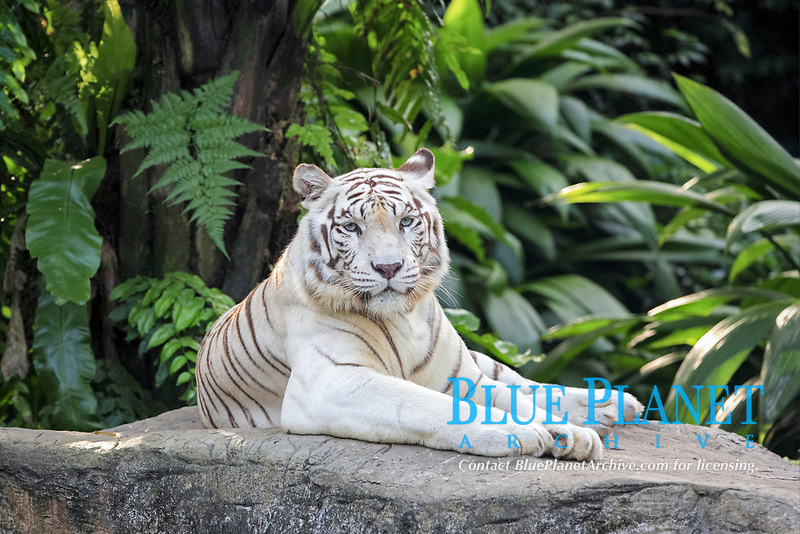 White Indian Tiger (Panthera tigris tigris), adult, resting on rock, captive
