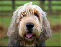 BNPS.co.uk (01202 558833)<br /> Pic: KennelClub/BNPS<br /> <br /> An adult Otterhound. Only 7 Otterhgound puppies were born last year. <br /> <br /> Has this breed of dog had its day?<br /> <br /> There are fears the otterhound, Britain's rarest breed of dog, is on the verge of extinction after just seven puppies were born last year.<br /> <br /> While the coronavirus lockdowns sparked record sales of puppies like Labradors and French Bulldogs, the same can not be said for some traditional British species.<br /> <br /> Chief among them is the otterhound, one of Britain's oldest breeds that dates back to the 12th century.