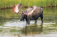 bull moose, Alces alces, shedding its velvet, Denali National Park,, Alaska, USA