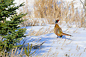 00890-038.05 Ring-necked Pheasant is walking in ideal winter habitat containing spruce trees.  Hunt, survive, farm, CRP, cold, habitat.