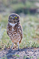 Burrowing Owl standing on a prairie dog mound