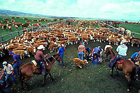 Paniolo (cowboys) branding cattle, Parker Ranch, Waimea