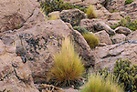 A single Mountain Viscacha disappears into the background when it turns its back to the camera.  Tarapacá, Chile.