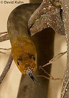0422-1101  Woma (Ramsay's python, Sand python), Flicking Tongue Searching for Prey, Australia, Endangered Snake, Aspidites ramsayi  © David Kuhn/Dwight Kuhn Photography