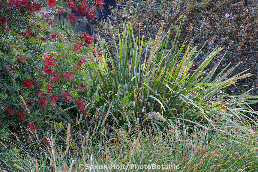 Lomandra hystrix 'Katie Belles' or L. 'Tropic Belles' with Callistemon 'Slim'; Australian Native Plant Nursery, Ventura, California