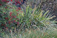 Lomandra hystrix 'Katie Belles' or L. 'Tropic Belles' with Callistemon 'Slim'; Australian Native Plant Nursery, Ventura, California