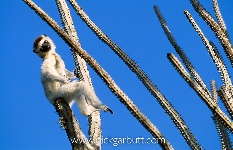 Verreaux's Sifaka (Propithecus verreauxi verreauxi) basking in morning sun on top of an Allaudia spike. Andohahela NP, southern Madagascar.