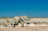 African Elephant, Giraffe, Ostrich, Common Zebra , Etosha national park, Namibia (Loxodonta africana), (Giraffa camelopardalis), (Struthio camelus), (Equus quagga burchelli)