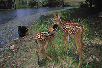 Two white tailed deer, Odocoileus virginianus,beside a clear stream with one liking and nuzzling the other, Missouri, USA