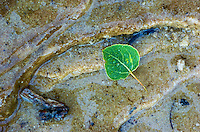 A single green leaf resting on the rocky shore of Pictured Rocks National Lakeshore. Munising, MI