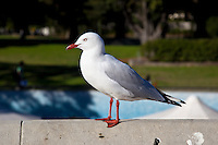 Silver Gull, Botanical Gardens, Sydney