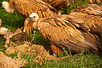 Euracian Griffon Vulture (Gyps fulvus) feeding , Native birds of Cres Island, Beli, Cres Island, Croatia