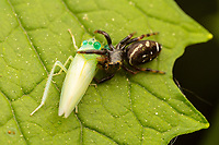 A jumping spider (Paraphidippus aurantius) holds on to its newly caught prey, a small leafhopper (Pagaronia minor).