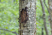 May 2014 - A tree wound on a yellow birch tree along the Mt Tecumseh Trail in New Hampshire. This wound is the result of man not properly removing a painted trail marker (blaze) from the tree. The blaze was painted on the tree in 2011, and then improperly removed from the tree in the spring of 2012. The bark, where the blaze was, was cut and peeled away creating a tree wound.