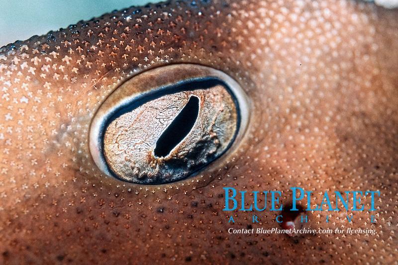 eye of Japanese horn shark, Heterodontus japonicus, Kamogawa, Chiba, Japan