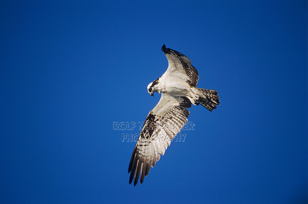 Osprey, Pandion haliaetus, adult in flight hoovering, Sanibel Island, Florida, USA, Dezember 1998