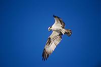 Osprey, Pandion haliaetus, adult in flight hoovering, Sanibel Island, Florida, USA, Dezember 1998