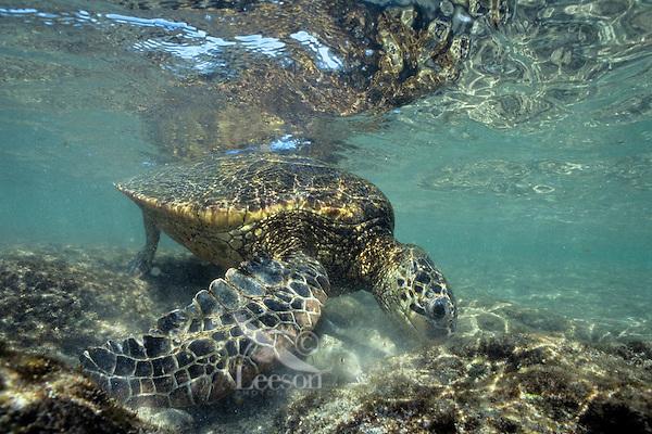 Green Sea Turtle (Chelonia mydas) feeding on algae on ocean rocks.  Hawaii.