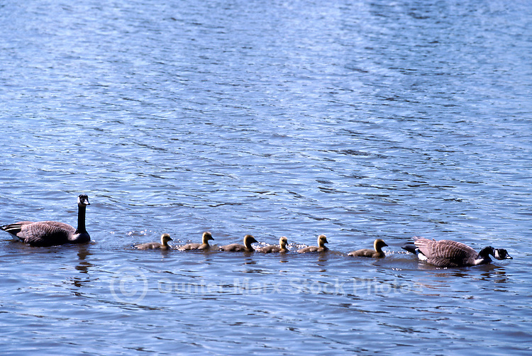 Canada Geese (Branta canadensis) - Canada Goose Family swimming with Gaggle of Young Goslings on Lake