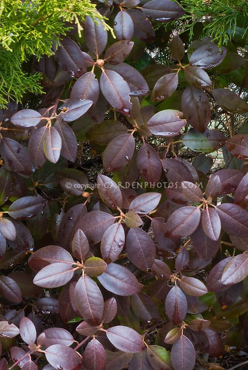Rhododendron 'PJM' in winter foliage